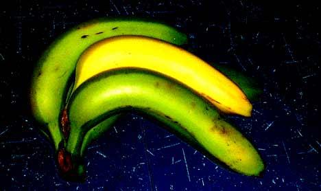 precocious banana